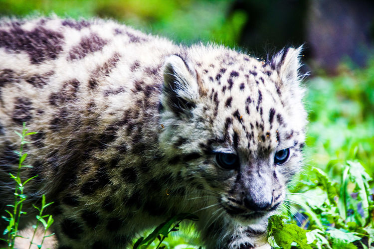 Snow leopard cub on field