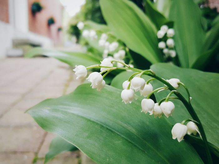 Flower Nature Close-up Focus On Foreground Fragility Day Plant No People Growth Beauty In Nature Freshness Leaf Springtime Labor Day Lily-of-the-valley Lily Of The Valley May Flower Head Doorstep 1st May