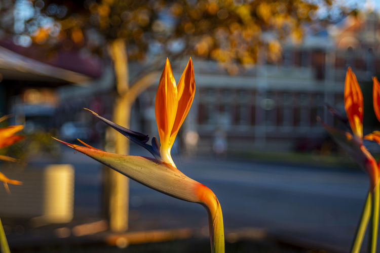 Plant Focus On Foreground Plant Close-up Growth Flowering Plant Flower Orange Color Day Nature No People Beauty In Nature Fragility Vulnerability  Bird Of Paradise - Plant Freshness Petal Outdoors Inflorescence Yellow Flower Head