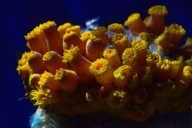 Vibrant Yellow Aquarium Coral Flower Freshness Yellow No People Beauty In Nature Close-up Fragility Nature Indoors