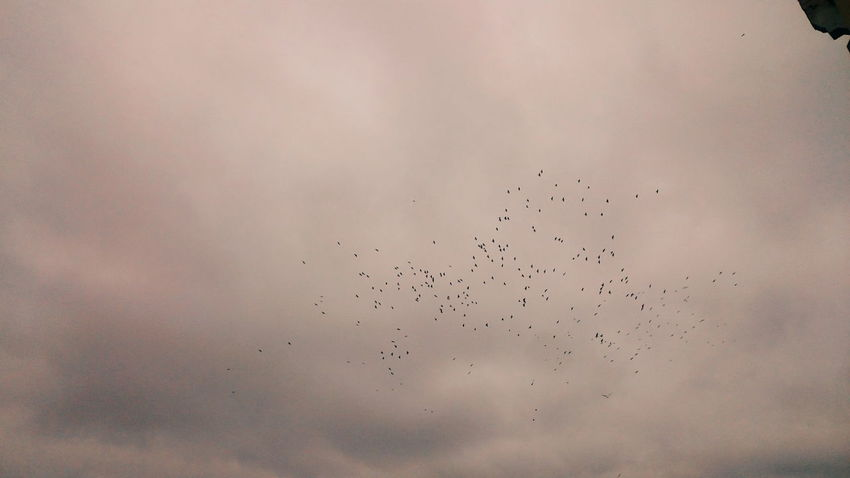 Large Group Of Animals Flock Of Birds Animal Themes Crow Crows Sky Morning Migrating Birds Autumn Cold Days Early Morning EyeEm Nature Lover EyeEm Gallery EyeEm VSCO Vscocam