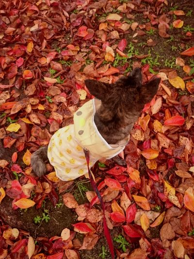 Pets Japan Dog Dog Multi Colored Leaf Autumn Red High Angle View Leaves Fall Fallen Fallen Leaf Autumn Collection