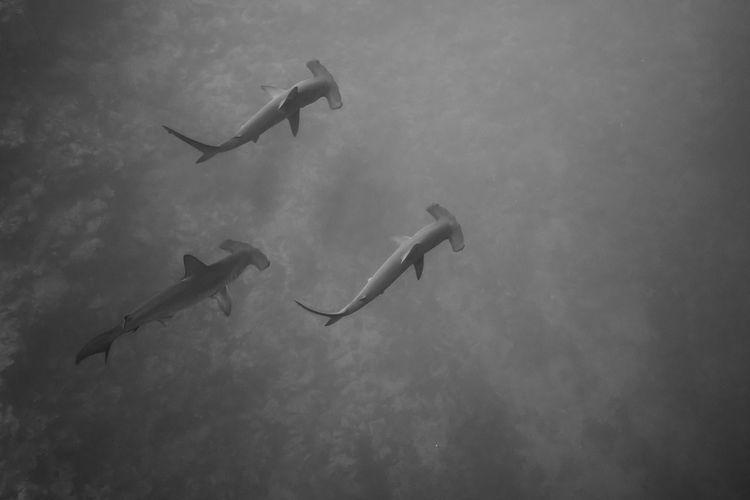 Animals In The Wild BDE Diving Egypt Wild Animal Animal Animal Themes Animal Wildlife Animals In The Wild Black And White Deep Blue Hammerhead Shark Nature Requin Marteau Sea Sea Life Shark UnderSea Underwater Water Wildlife