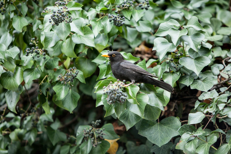 Blackbird perching on plants