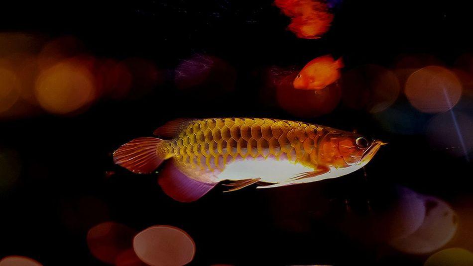 Arowana Fish Ikan Kelisa In Malay Aquarium Life Underwater Fresh Water Fish Malaysia Golden The Most Expensive Aquarium Fish No People Close-up Fish Themes Pet Fish