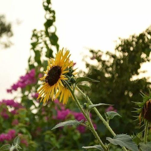 Spot the bee Bee Sunflower Flower F6 park islamabad pakistan
