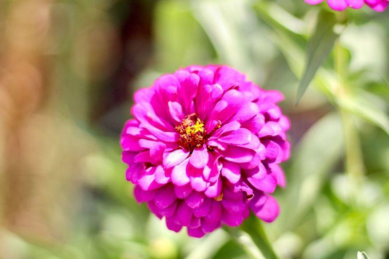 ดอกบานชื่นสีชมพูในสวน Flower Flowering Plant Plant Freshness Beauty In Nature Petal Fragility Flower Head Close-up Vulnerability  Inflorescence Focus On Foreground Pink Color Growth Nature Zinnia  Animal Themes No People Outdoors Pollen