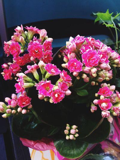 yup got anothher plant :) Calandiva Flower Plants