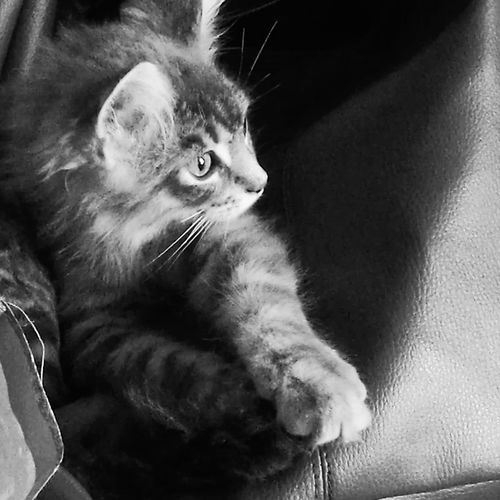 Domestic Cat Pets One Animal Feline No People Domestic Animals Animal Themes Portrait Indoors  Close-up Day Kitty Cat Kitten 🐱 Cat♡ Maincoon Kitten Maincoon Love