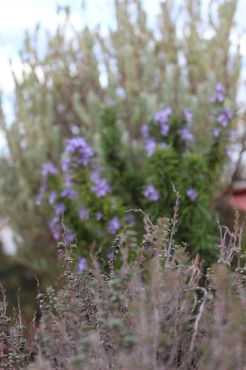 Rosemary Thime Lavender Plants Winter Meditarranean