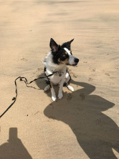 EyeEm Selects Shadows Sand Beachphotography Beach Dog Walking Days Happy Dog Family Time ♥ Togetherness Border Collie Concentration Sandy