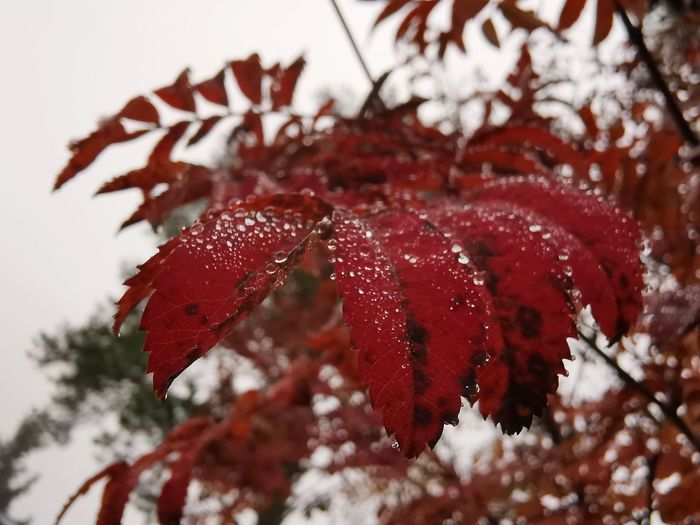 Close-up of red leaves on tree during winter