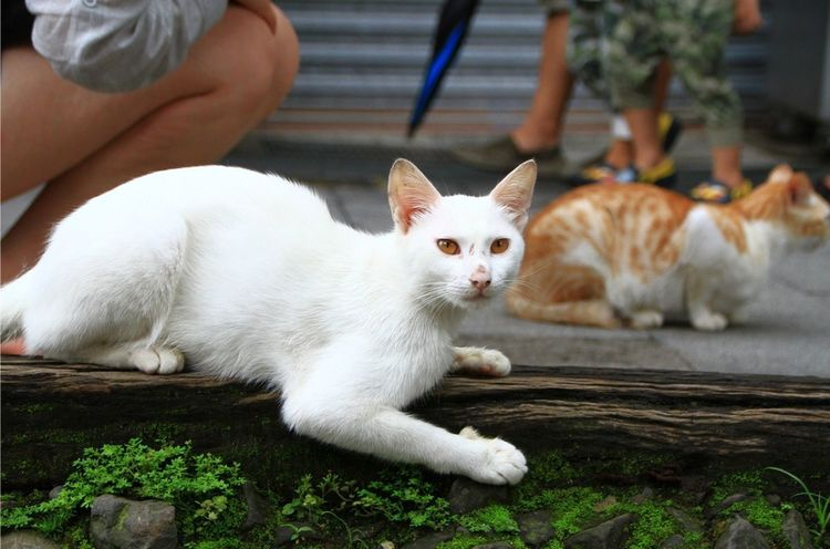 Domestic Cat Domestic Animals Looking At Camera Streetphotography EyeEmNewHere Street Photography Travel Photography EyeEm Gallery EyeEm Best Shots Cats Of EyeEm Summer Views Taiwan Street Photo