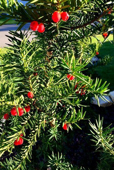 Yew shrub Berries Red Colour Yew Berries Beauty In Nature
