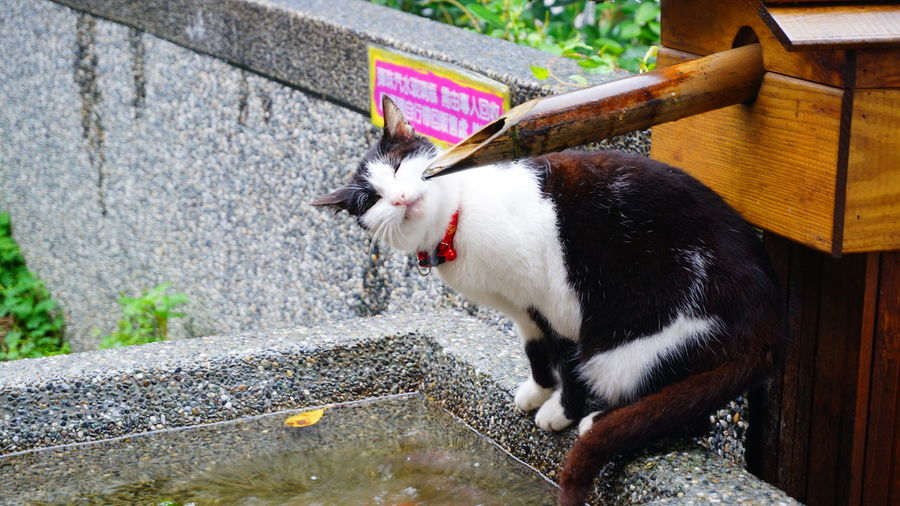 Cat at water fountain in japanese garden