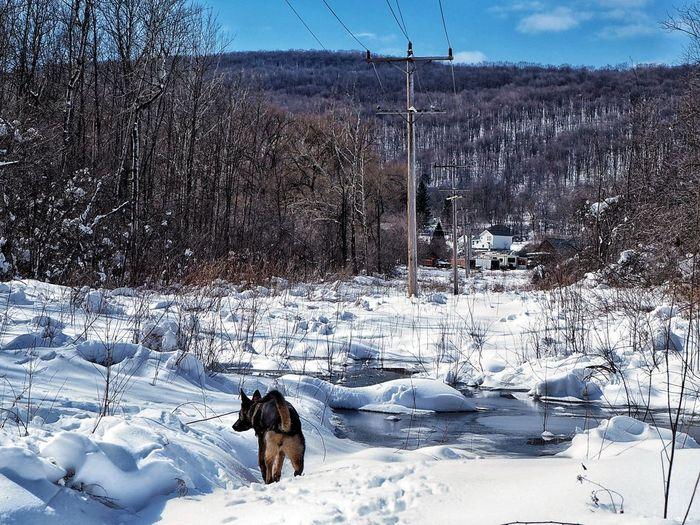Winter Adventure My Pet Sable Puppy Upstate New York Snow Pets Cold Temperature Winter Dog Animal Themes Sky German Shepherd Animal Track Canine