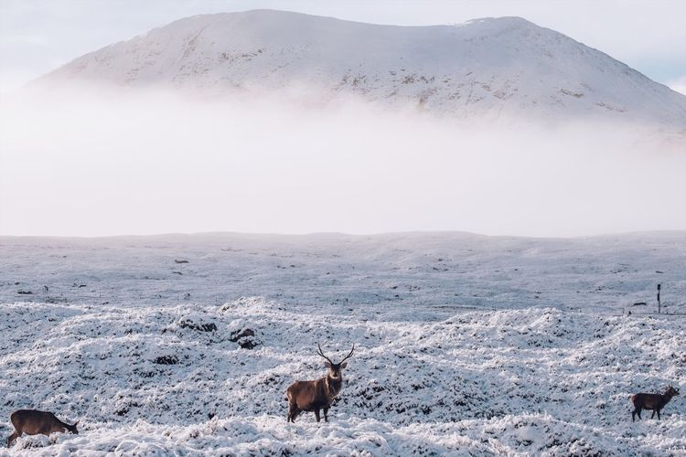 Glencoe deer. Animal Themes Nature Animals In The Wild Day Mountain Snow Cold Temperature Outdoors Landscape Animal Wildlife Mammal No People Beauty In Nature Winter Domestic Animals Sky Deer Fuji Fujifilm Glencoe Deer Fresh On Market 2017