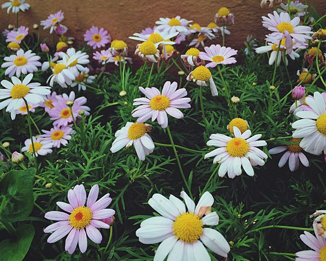 White Daisy Daisy Nature Creatures Flowers Pink Daisy Love