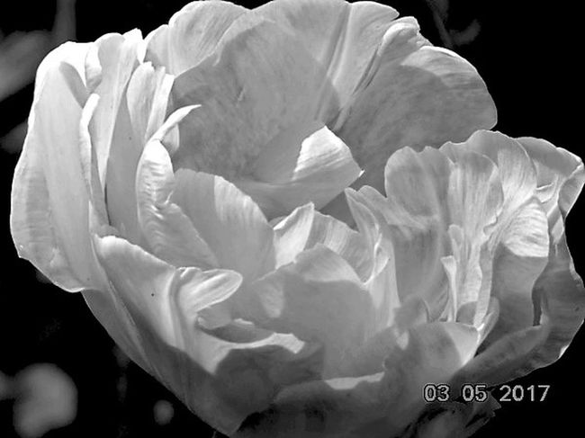 Flower Petal Rose - Flower Beauty In Nature Nature Fragility Flower Head Close-up Growth Freshness No People Outdoors Tulip Angelique Blackandwhite St Agnes