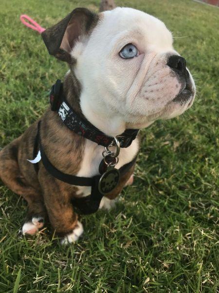 Dog Pets One Animal Domestic Animals Animal Themes Pet Collar Grass Outdoors Day No People Close-up Puppy English Bulldog