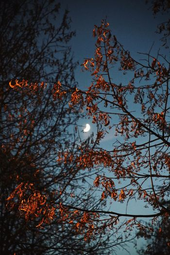 Moon and trees 2 Winter Half Moon Tree Nature Branch Low Angle View No People Beauty In Nature Outdoors Sky Moon Illuminated Growth Shades Of Winter