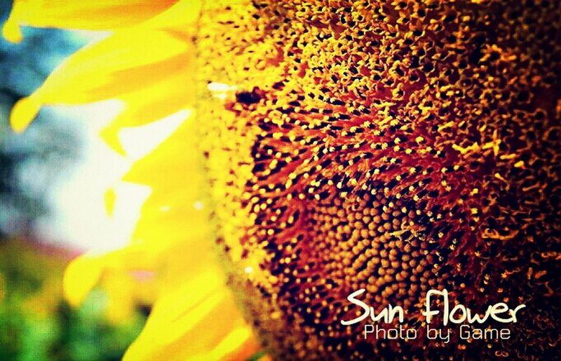 Summer Flowers Sunflower - The Inside Story #1 Flowerporn Sunflower Seeds