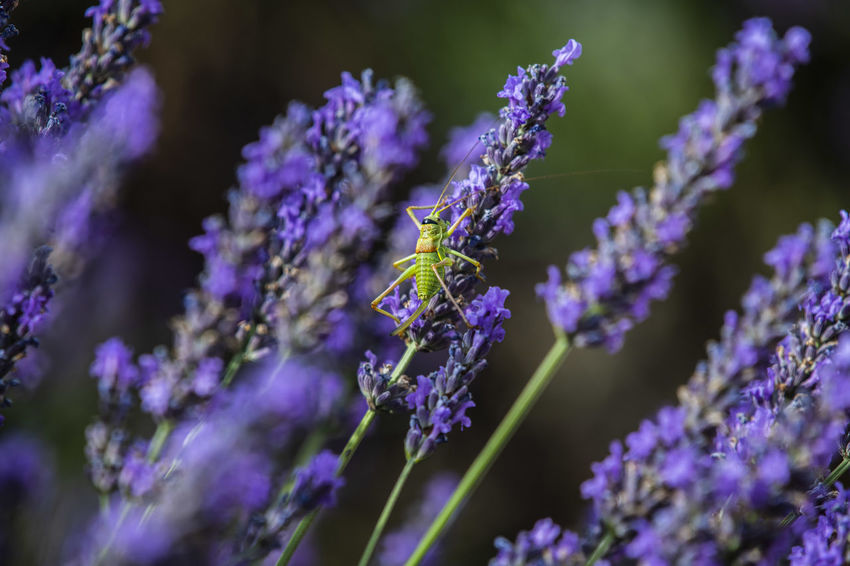 Animal Animal Themes Beauty In Nature Close-up Day Flower Flower Head Flowering Plant Fragility Freshness Growth Insect Invertebrate Lavender Nature No People One Animal Outdoors Petal Plant Pollination Purple Selective Focus Vulnerability