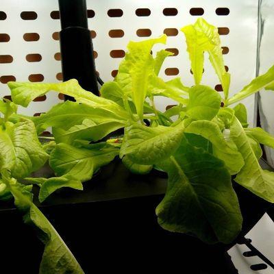 #aerogarden #2013 #salad #lettuce #veggie #vegetarian #салат #латук #вегетарианство #2013 Salad Vegetarian Veggie 2013 Lettuce салат Aerogarden вегетарианство латук