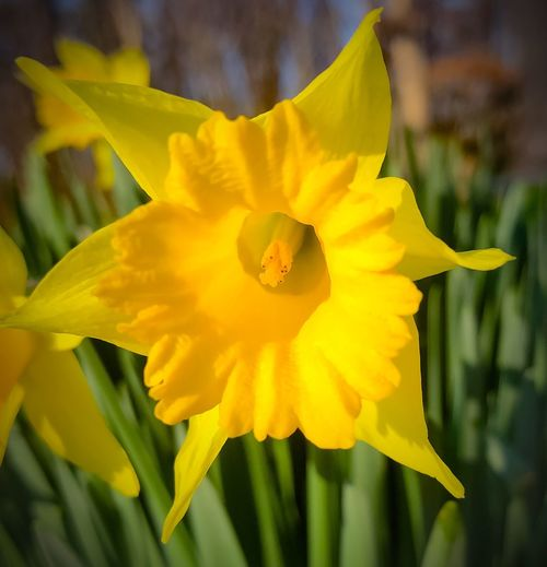Daffodil Flower Petal Fragility Yellow Growth Flower Head Freshness Outdoors Day Lily No People Focus On Foreground Close-up Plant Beauty In Nature Blooming Stamen Day Nature
