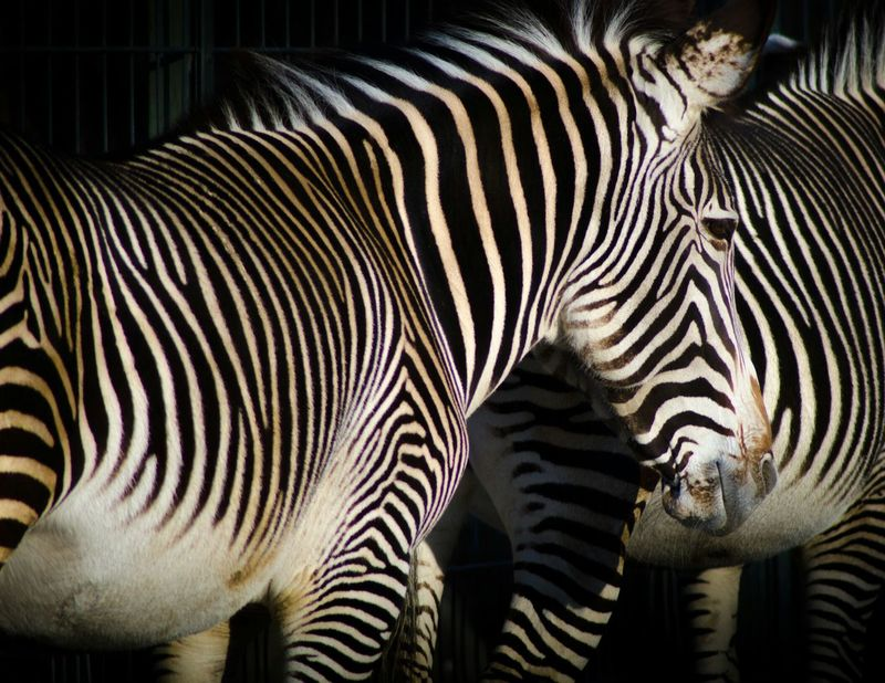 Zebras Lines Collected Community Together Similar Camouflage Animal_collection Couples❤❤❤ Pets Corner Animal & Animal Abstract NEM Abstracts Wildlife Camouflage Love Camouflaged Same Same Muster Mix Fine Art Animals EyeEm Best Shots Lines, Colors & Textures Shaping The Future. Together. Still Life Zebra Around The World Two Is Better Than One