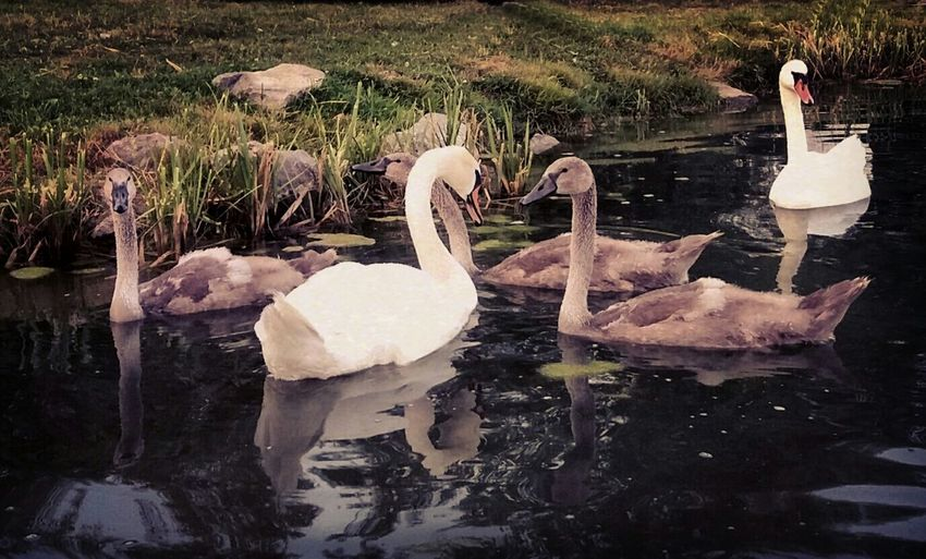 Animal Animals Beauty In Nature Lake Mobile Photography Mobilephoto Mobilephotography Nature Nature Swan Swans Water