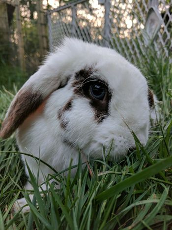 One Animal Pets Animal Body Part Eye Animal Head  Grass Mammal Animal Themes Close-up Domestic Animals Outdoors Dog Portrait Day No People Nature Rabbit Bunny  Lop Mini Lop