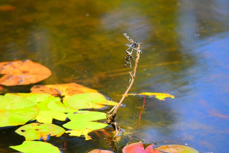 Took me a while to catch thses two zipping around! North Carolina Dragonfly Lake View Lilypads Nature Nature Photography Outdoors Ncnature Color Photography