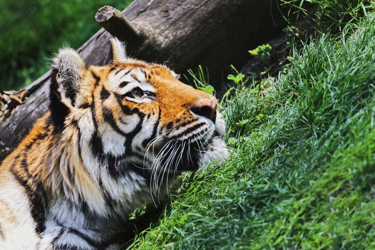 Animal Themes Animal Tiger One Animal Big Cat Nature Animal Head  Whisker Nature_collection Naturelovers Lazy Laziness