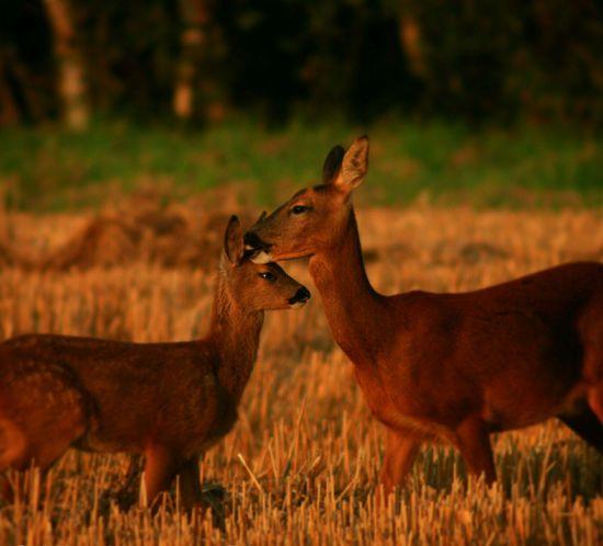 Deer Deer Fawn Countryside