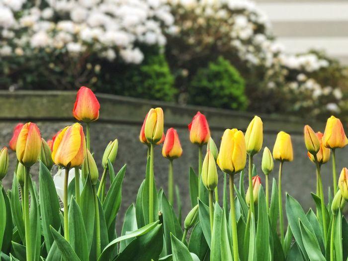 Tulips Flowers Seattle