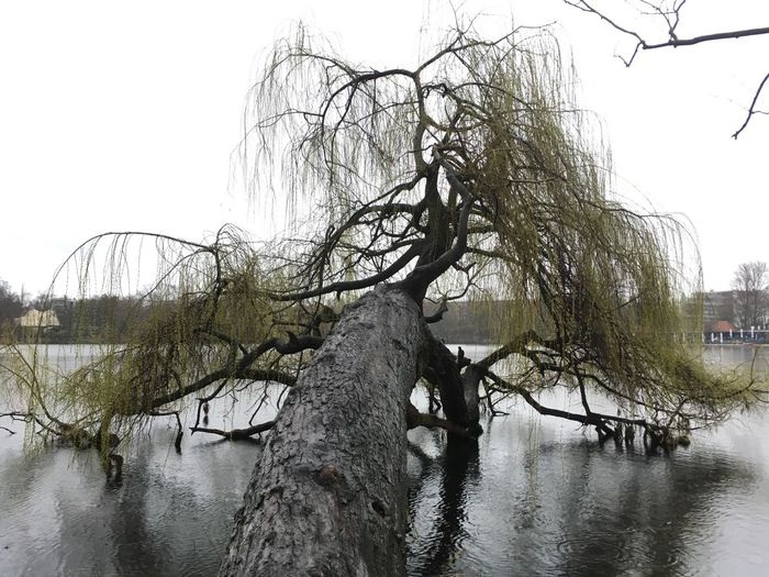 Tree Water Plant Sky Nature Day No People Branch Wet Outdoors Rain Willow Tree Rainy Season Reflection River