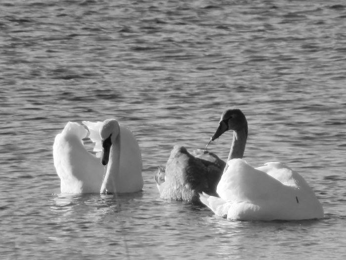 Blackandwhite Swan Bird Water Swimming Lake