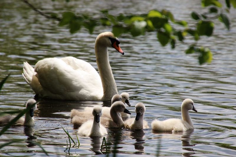 Animal Themes Animal Family Birds Swimming In Pond swans mother and babies Togetherness Outdoors Beauty In Nature No People