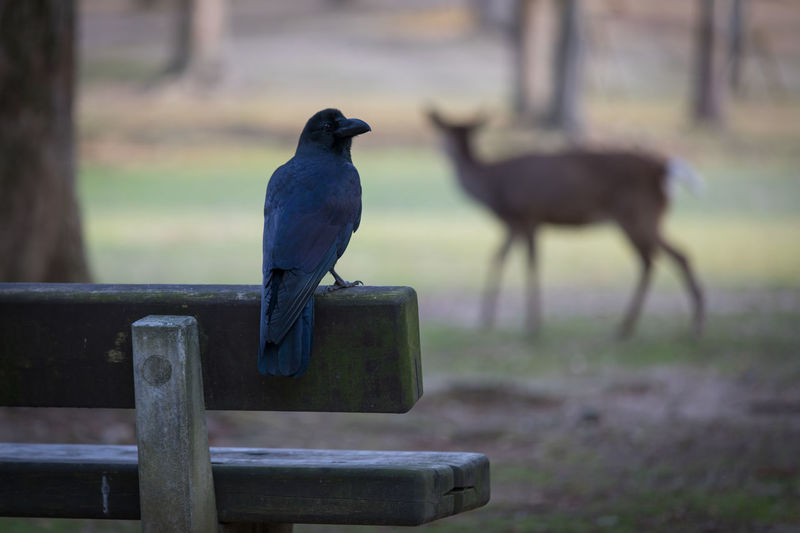 Crow and deer in Nara Park Crow Raven - Bird Vertebrate Animal Themes Animal Bird Animal Wildlife Animals In The Wild Perching Focus On Foreground Group Of Animals Day No People Nature Outdoors Land Field Full Length Two Animals Wood - Material