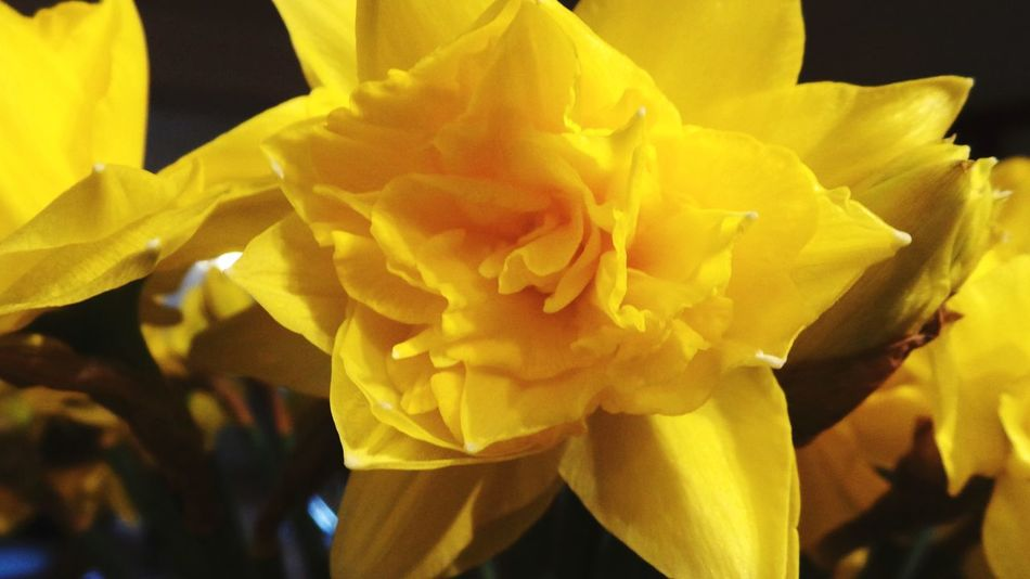 Narzissen Narcissus Flower Spring Flowers Frühlingsblümchen