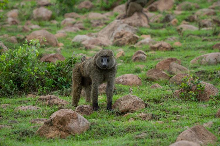 Baboons in rocky field