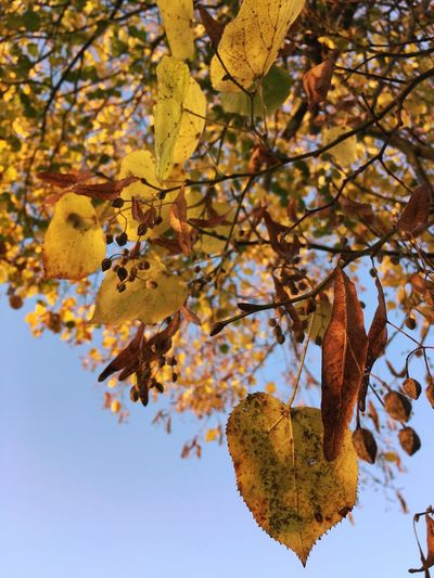 Low angle view of maple tree against sky