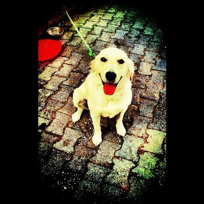 Golden Dost Arkadaş Sadik kameraya poz veren artist like like4like istanbul instamood instagramturkiye instacool dog nice instacollage amateur photo
