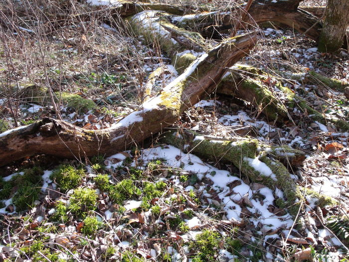Princess Pine Mossy Logs Nature Nature Photography Snowy Mossy Logs