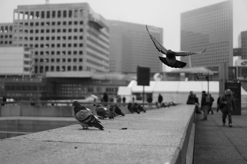 Cliché parisien (day 3) (Winter legacy, January 2017, Paris area, La Défense) Urban Playground Cliché Parisien Street Photography Portrait Of People Paris Parisian Cliché Pigeons Blackandwhite Bnw Bnwphotography Sonya6000 Winter Sonyalpha Storytelling Urban Shadows Architecture Urban Geometry Paris Area Streetphotography_bw Streetphotography Birds Adapted To The City The Street Photographer - 2017 EyeEm Awards