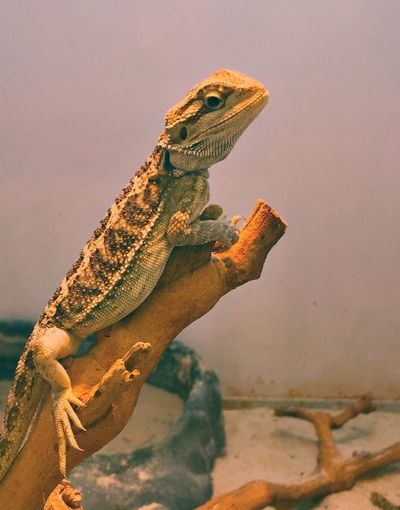Reptile Lizard One Animal Bearded Dragon Nature