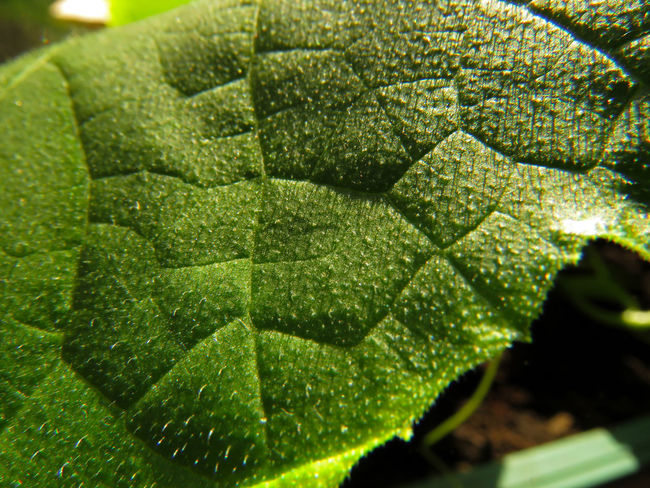 Close-up Cucumber Cucumber Plant Day Freshness Garden Gardening Green Color Growth Leaf Leaf Vein Learn & Shoot: Simplicity Leaves Light And Shadow Low Angle View Macro Macro Beauty Macro Photography Nature No People Plant Summer Sunlight Tranquility Window Sill
