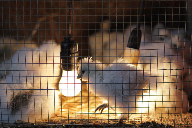 Close-up of white bird in cage