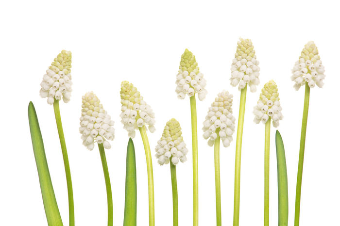 Agriculture Beauty In Nature Cereal Plant Day Field Grape Hyacinths Growth Nature No People Plant Studio Shot Wheat White White Background White Grape Hyacinths